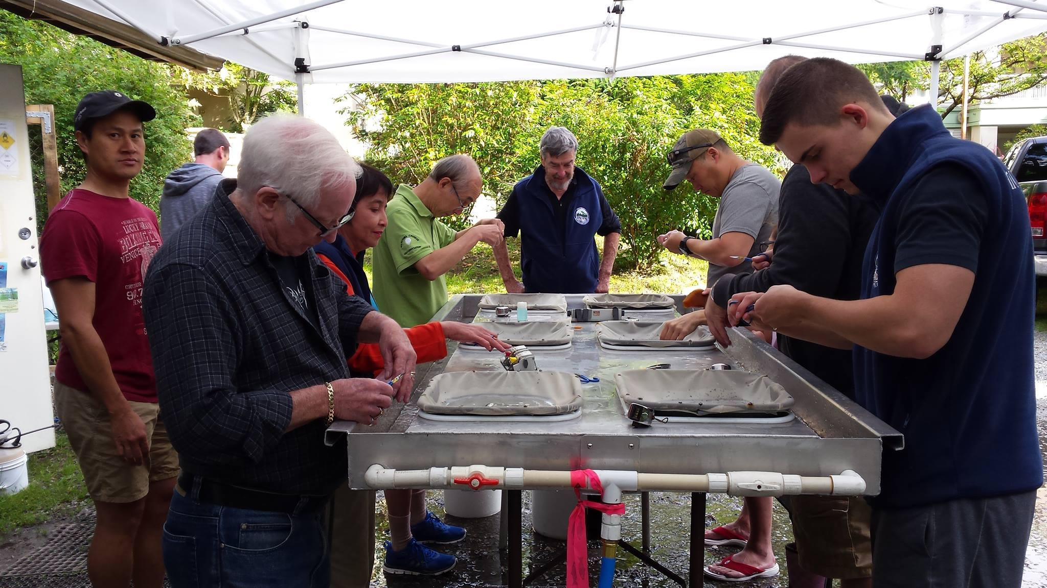 Volunteers work diligently,  and quickly clipping and counting coho fry