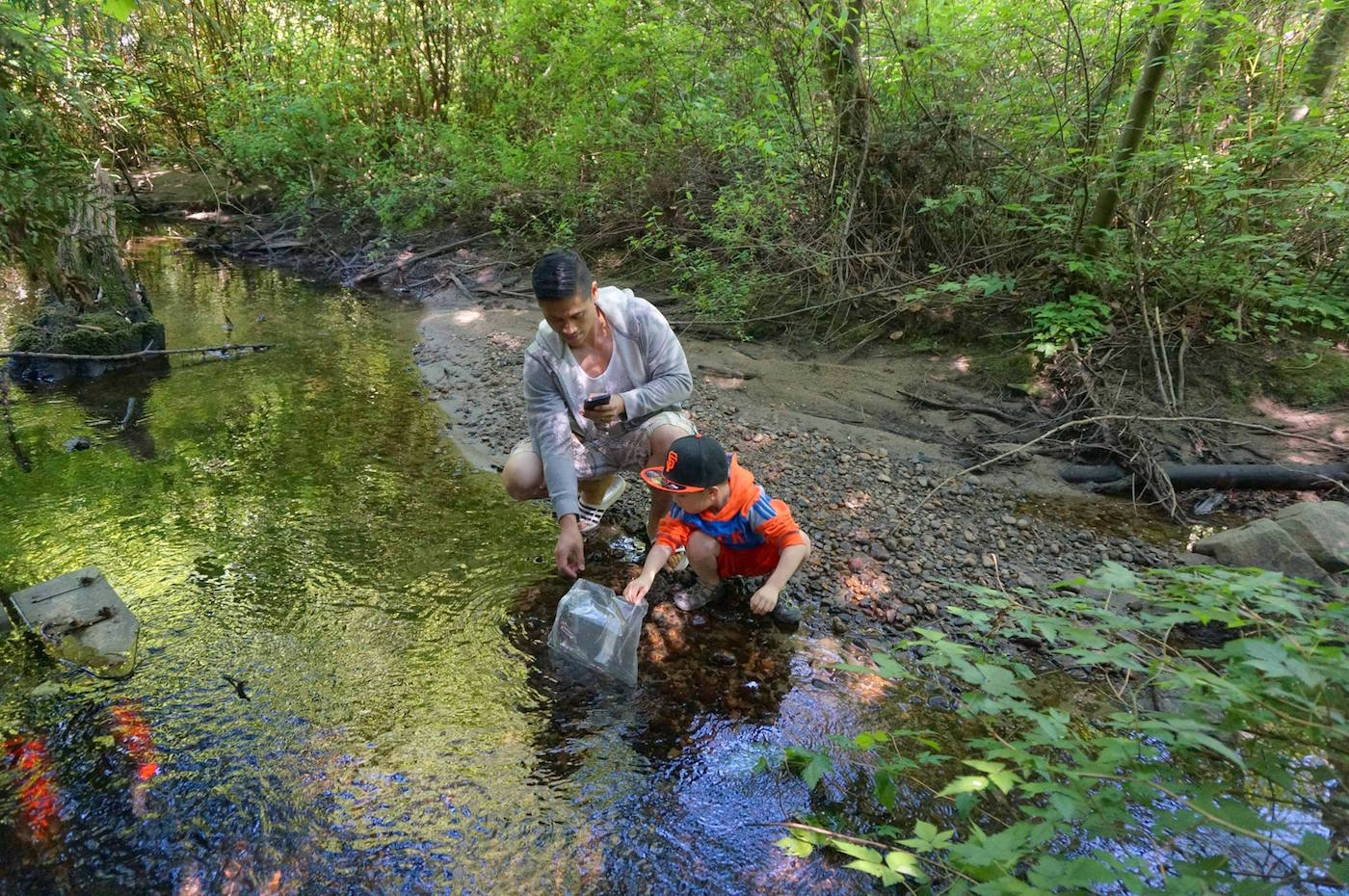 """A father assists his son in releasing coho smolts into Hoy Creek during """"Salmon Leave Home"""" 2016 (HSWS photo)"""