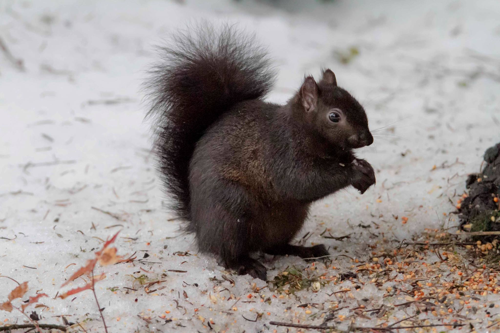 A black  squirrel  eating seeds out front of the hatchery. (Photo: Ed Paulino / HSWS)