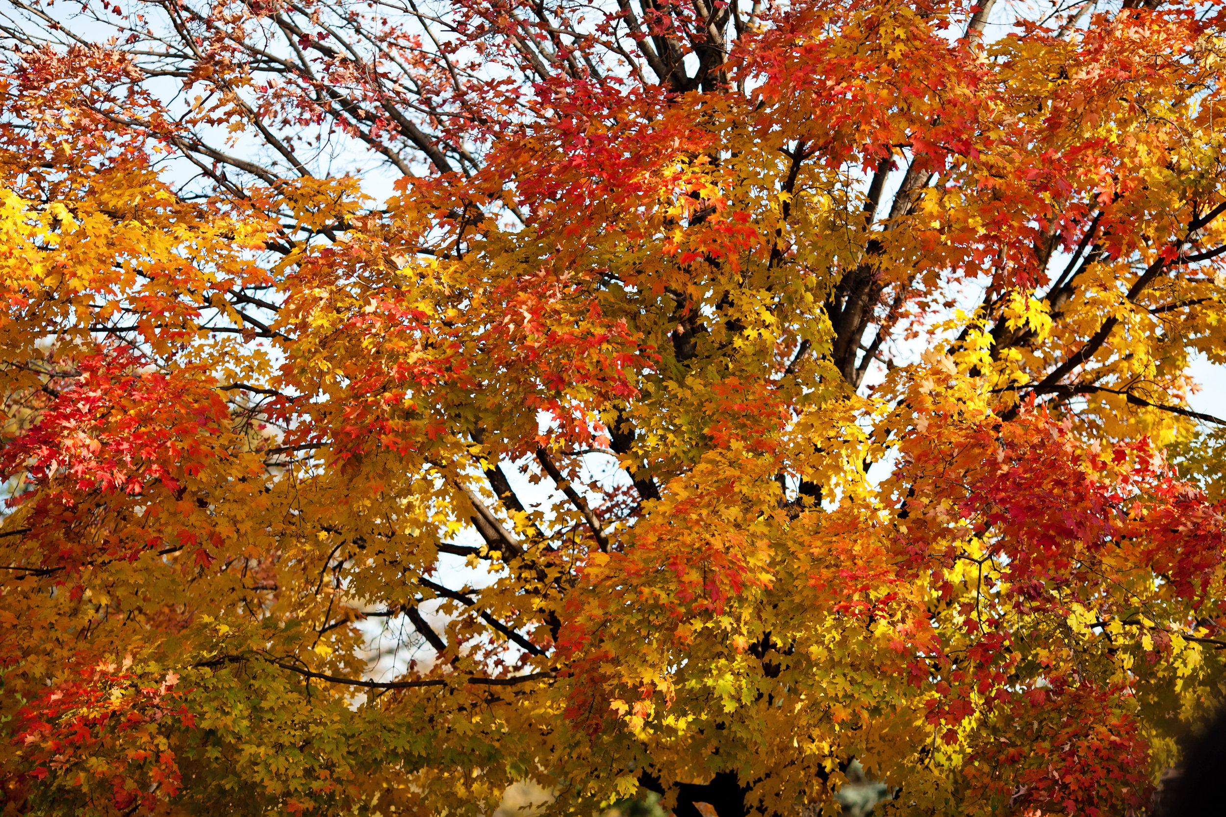 21 fall wedding fall wedding outdoors leaves changing colors orange and yellow tree leaves unique outdoor trees Life Design Events  .jpg