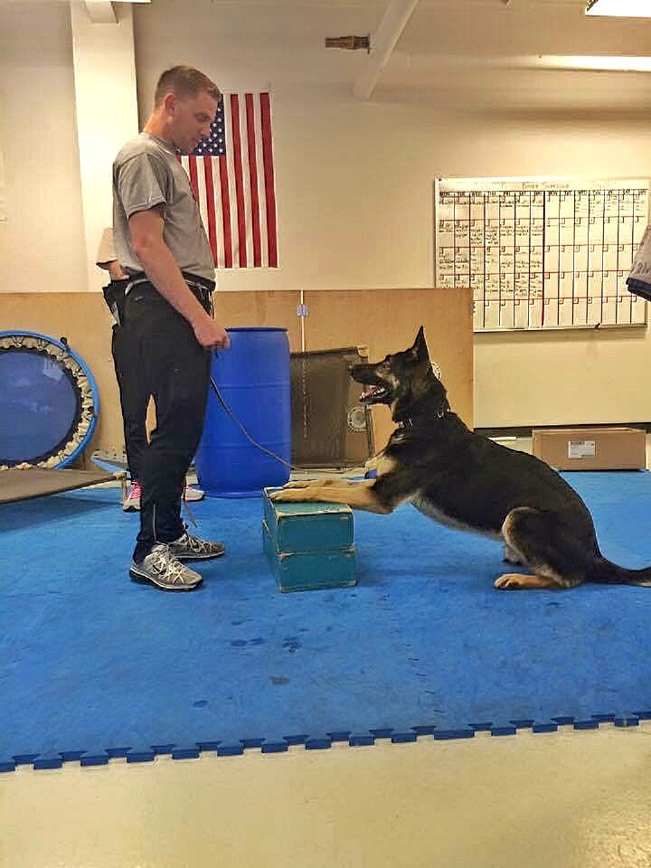 Bandit learning the sit to stand. The blocks are used to keep his front paws in place and work the back legs to push up.
