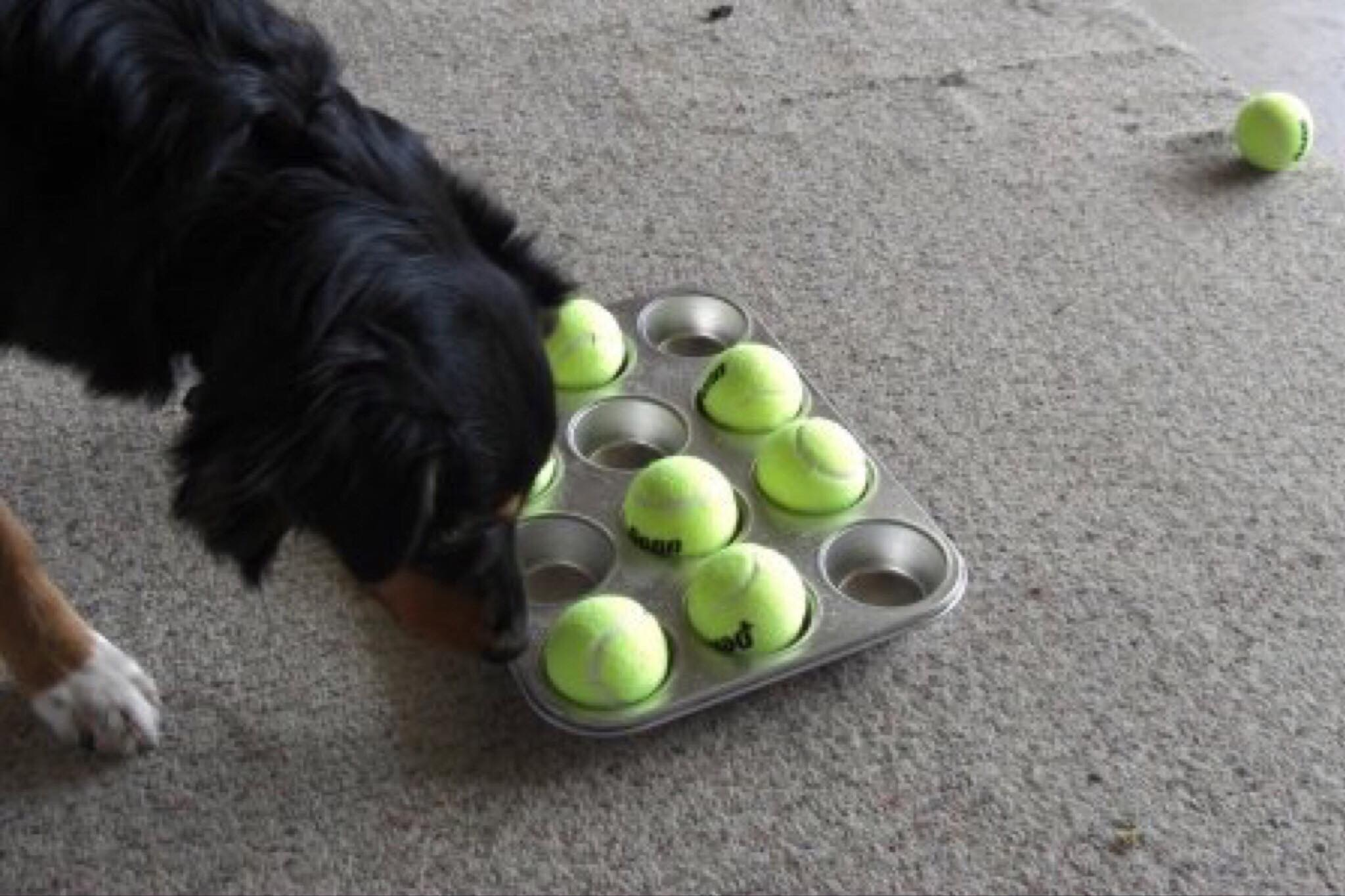 Muffin Tin with Tennis Ball covering the kibble