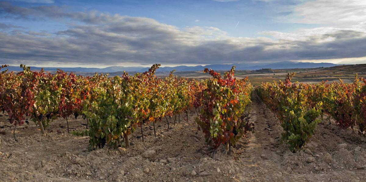 Gorgeous vineyards in Rioja
