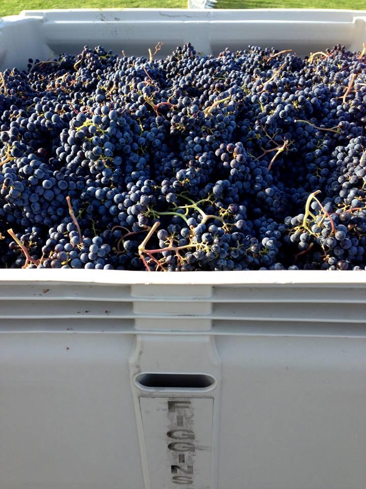 Harvest at the Figgins Estate Vineyard in Walla Walla