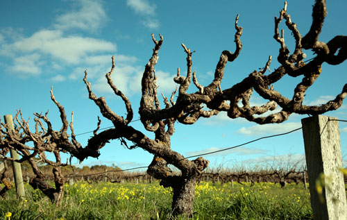 Clarendon Hills Gnarled Grenache vines.jpg