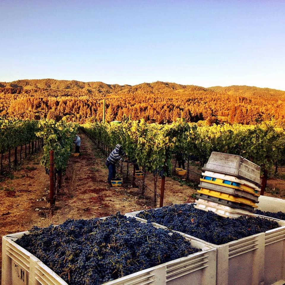 Gorgeous photo here of a morning harvest at Del Dotto.
