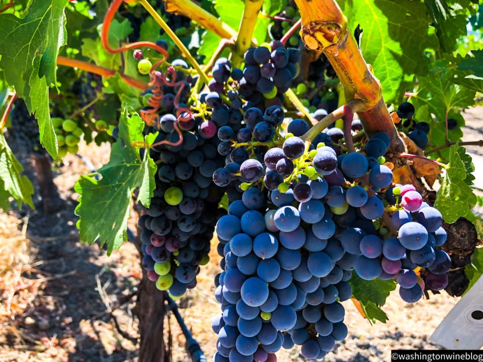 Grapes here on 8/12/19 in the Kronos Vineyard, owned by Cathy Corison.