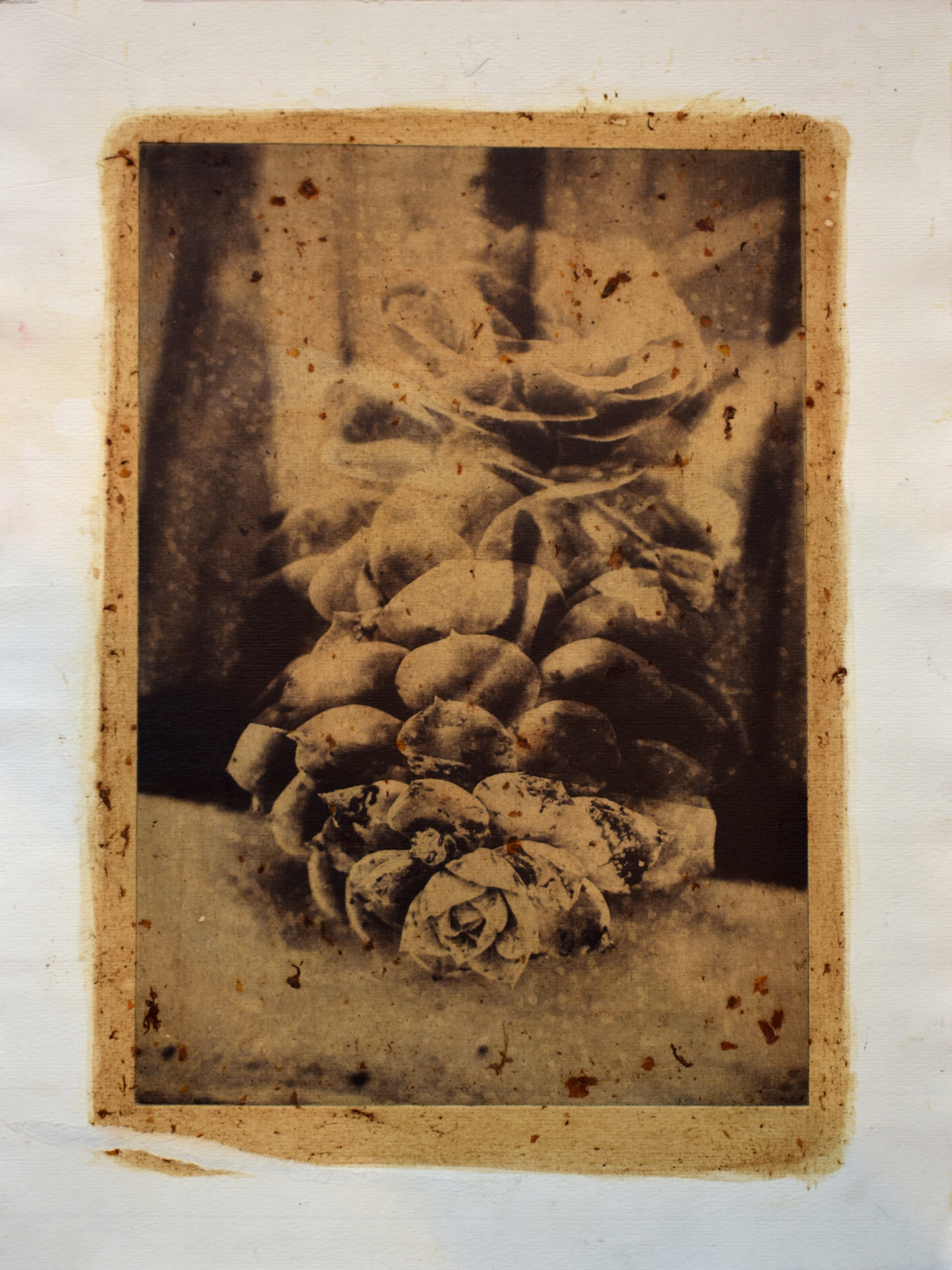 Photogravure, succulent bloom and calcite. Printed on paper hand-dyed with collected, crushed rose petals. 25 x 33cm. 2019