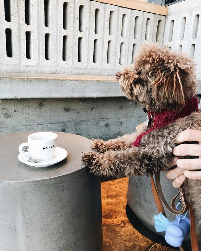 Coffee so good even our customers' dogs want some🐶  __ #dogsandcoffee #pcpfairfax #paramountcoffeeproject #furryfriends
