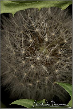 dandelion-3.jpg