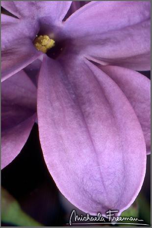 lilac-5.jpg