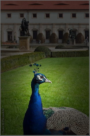 peacock-2.jpg
