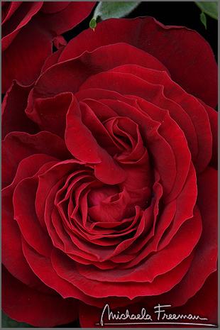 rose-3.jpg