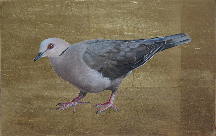 Red-eyed Pigeon