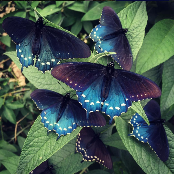 Butterfly Whisperer Repopulating Rare Butterfly Species In His Own Backyard I Love Nature
