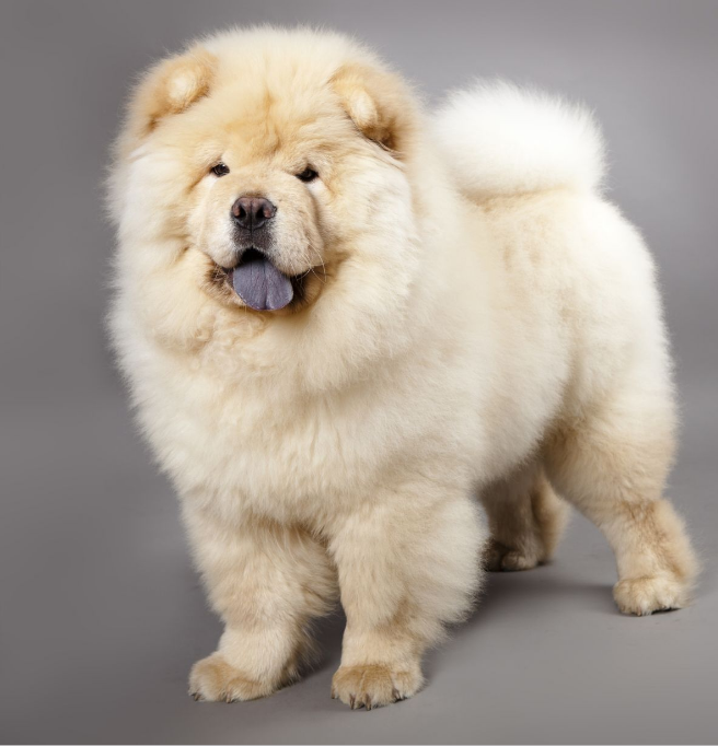 79+ Chinese Chow Chow Lion