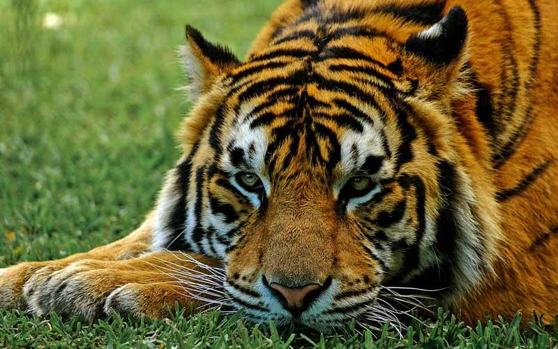 endangered_tigers.jpg