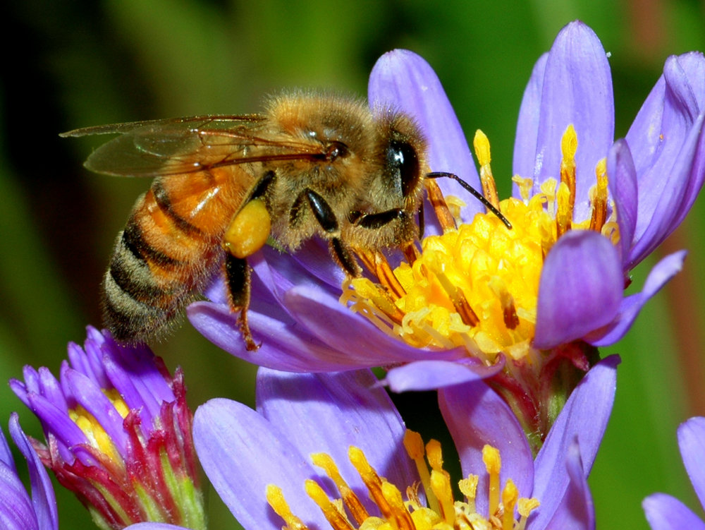 1-Honey-Bee-001.jpg