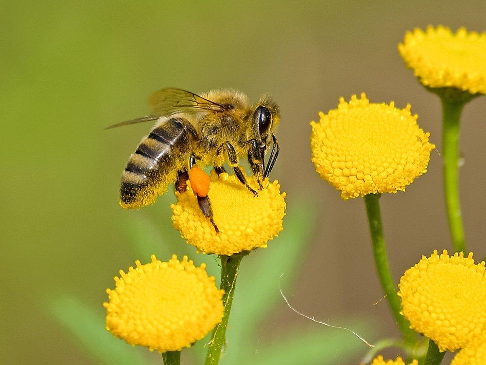 animal-bee-bloom-460961.jpg