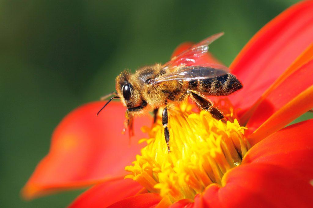 honeybee_AdobeStock_123517981-1024x683.jpeg