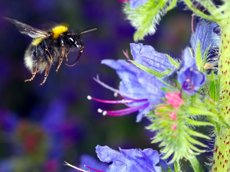vipers-bugloss-and-white-tailed-bumblebee-alamy-hdwhrm-580x435.jpg
