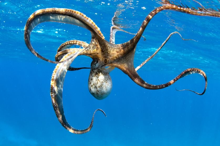 octopus-swimming.jpg.838x0_q80.jpg
