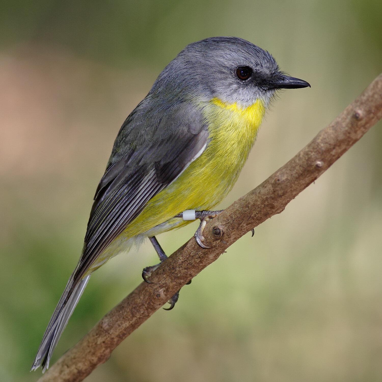 Eastern_yellow_robin.jpg