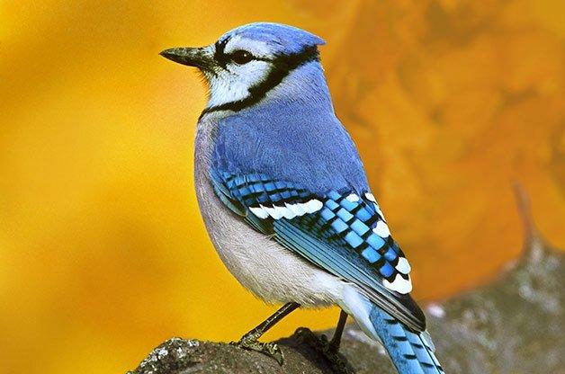 blue_jay_songbirds.jpg