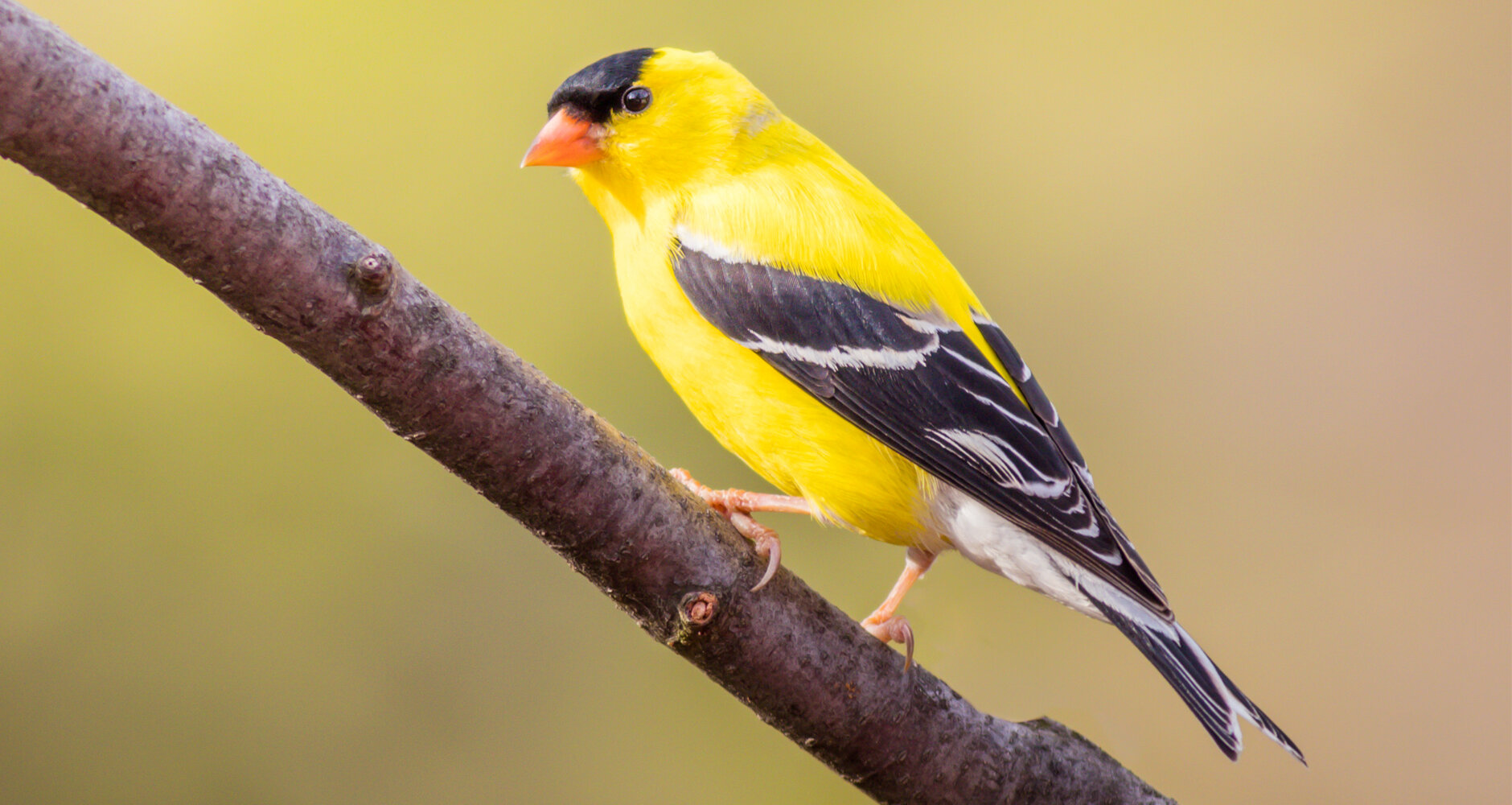 Songbirds-American-Goldfinch-A146348148.jpg
