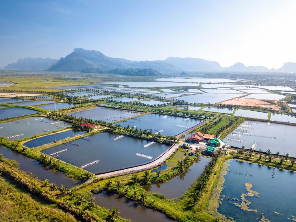 Thai-prawn-farm_SS_1500-1024x767.jpg