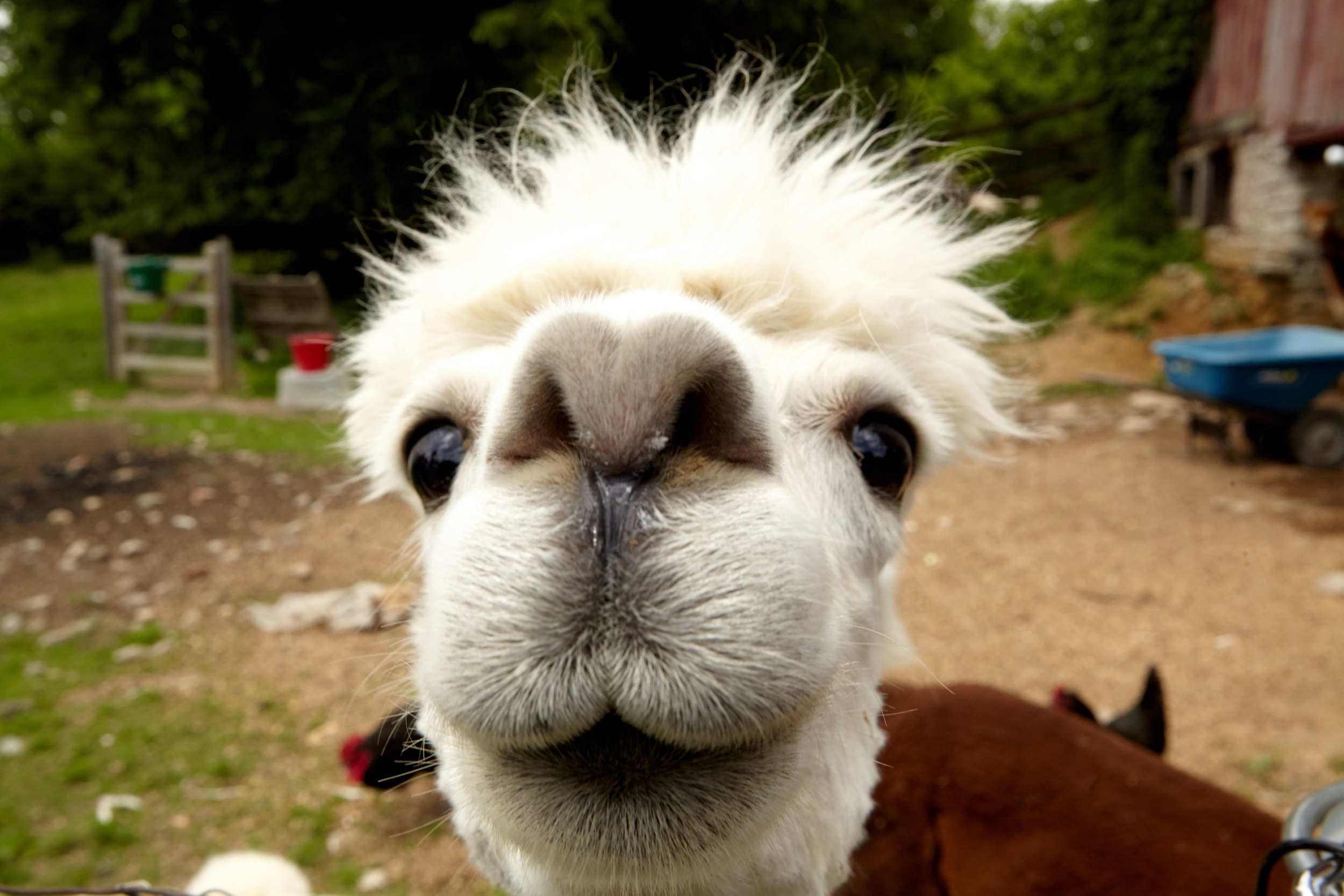 Spike the Alpaca, he's a stud. Photo by Brooke Shanesy