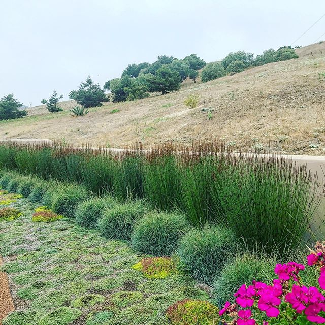 "The contrast between the wild landscape beyond and the formal marching line of Chondropetalum tectorum 'El Campo' and Carex flacca ' Blue Zinger' is an example of establishing a non-traditional ""hedge"". #20yearsanniversary #slolandscapedesign  #slolocal"