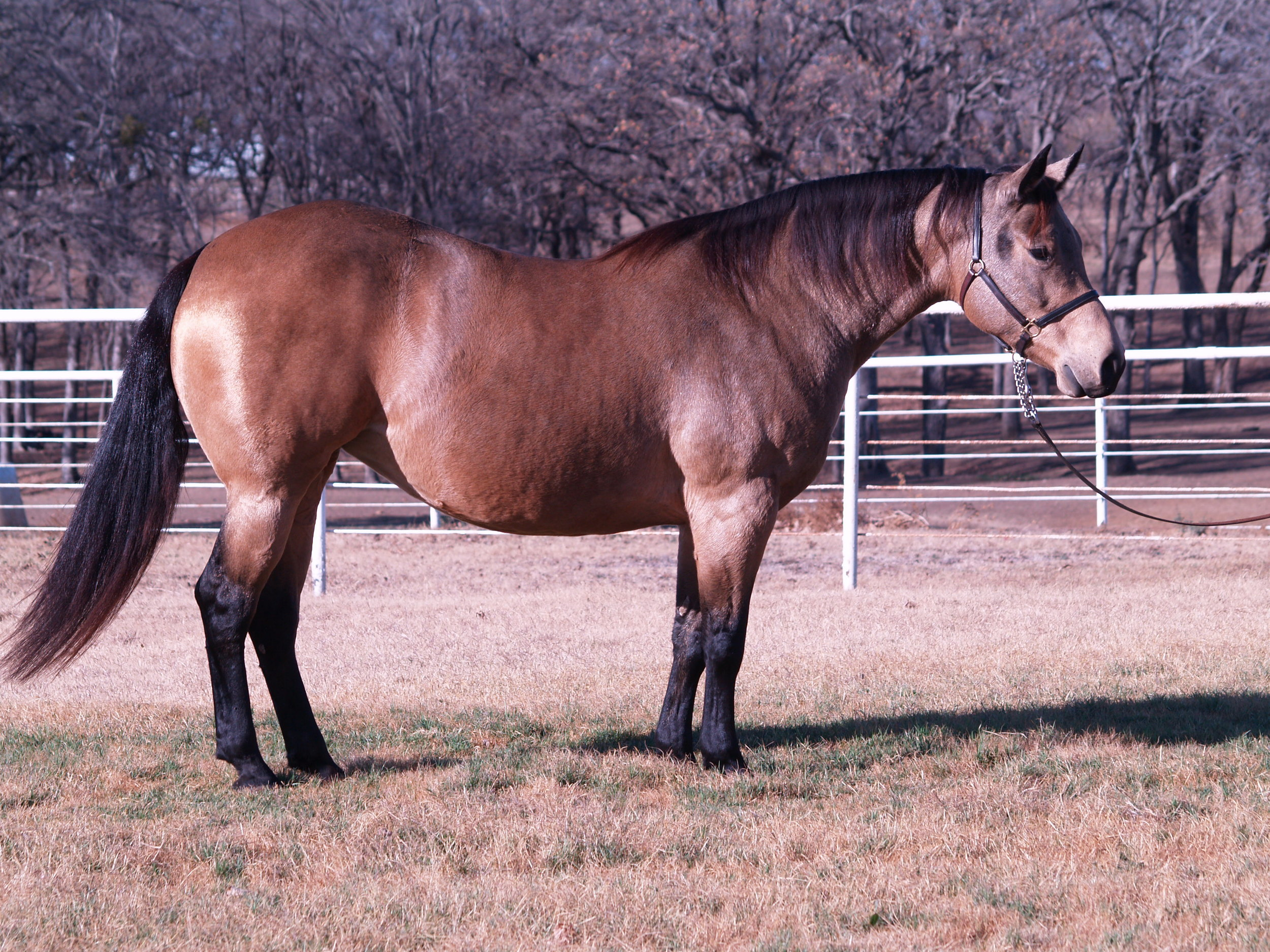 Custom Made Dunit  is a 2005 buckskin mare by Hollywood Dun It and out of Custom Red Berry by Custom Crome. She is an NRHA money earner and  producer of   $281,313+,  including the 2012 Non Pro Futurity Co-Champion, Customized Gunner and the 2015 NRBC Non Pro Co-Reserve Champion Custom Made Gun.