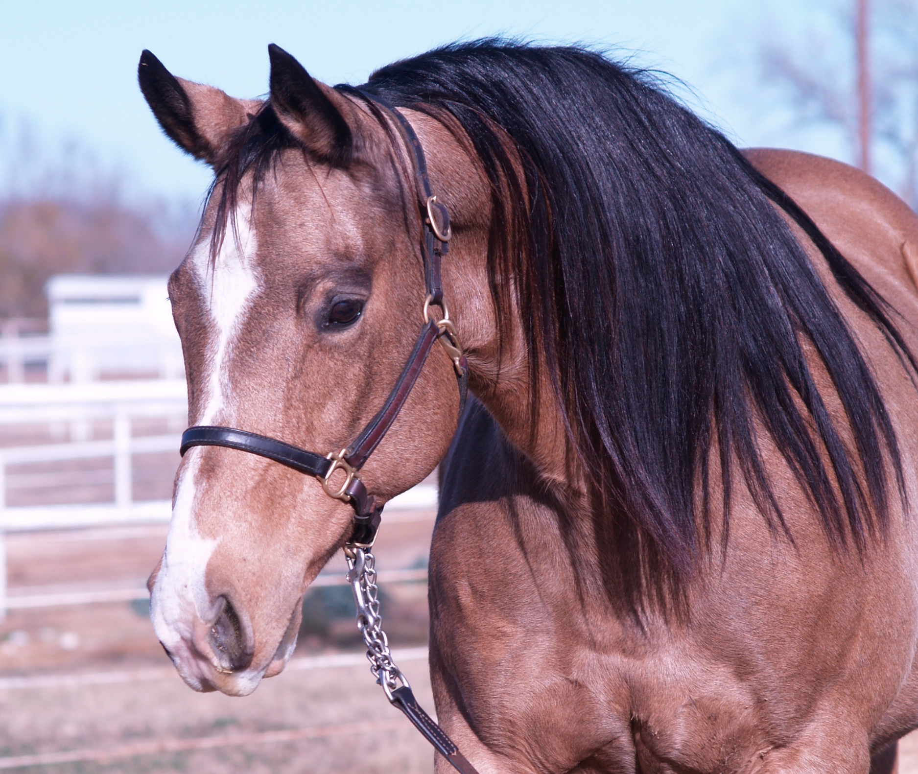 Cee Dun It Do It,  1994 buckskin mare by Hollywood Dun It and out of Seniorita Miss Cee by Corona Cody.  An earner of $4,797 and producer of $397,500+ , she is an NRHA Top 25 All Time Leading Dam and the dam of 2012 NRHA Open Futurity L4 Champion, Americasnextgunmodel (by Gunner).