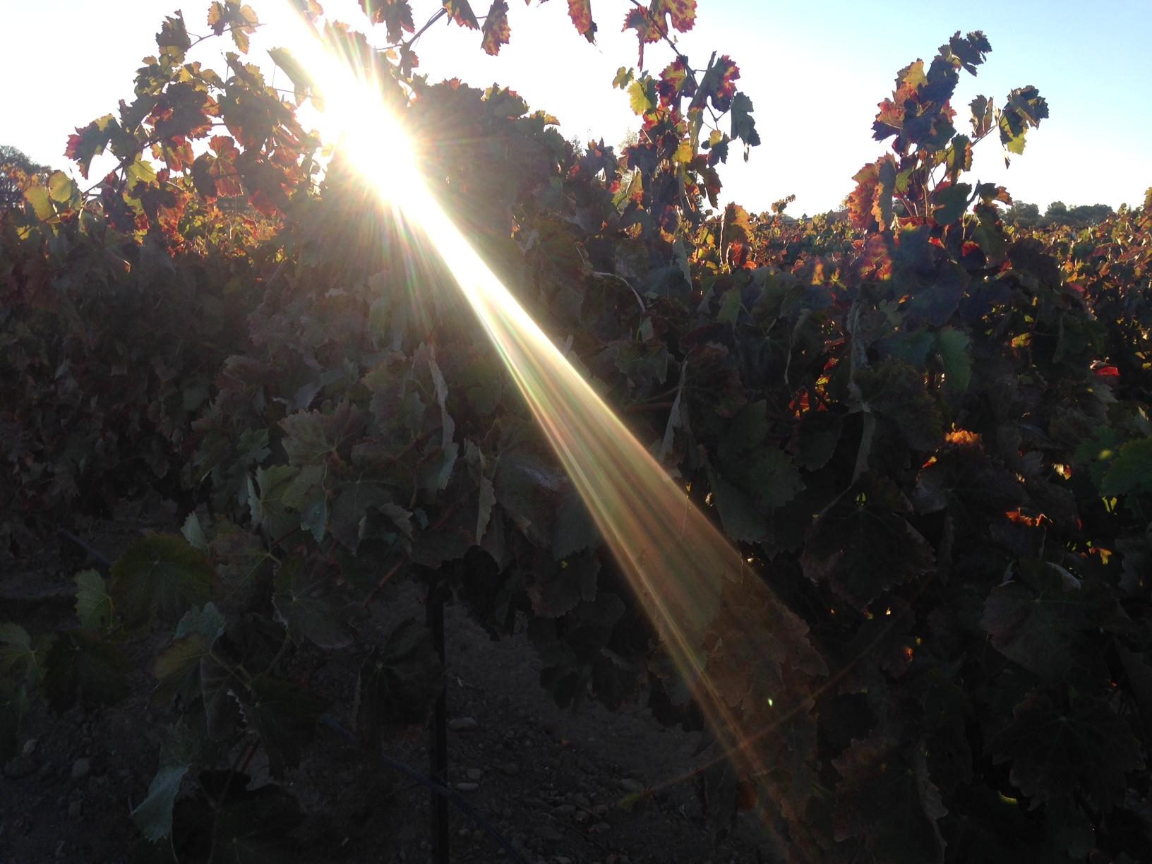 Panache Vineyard