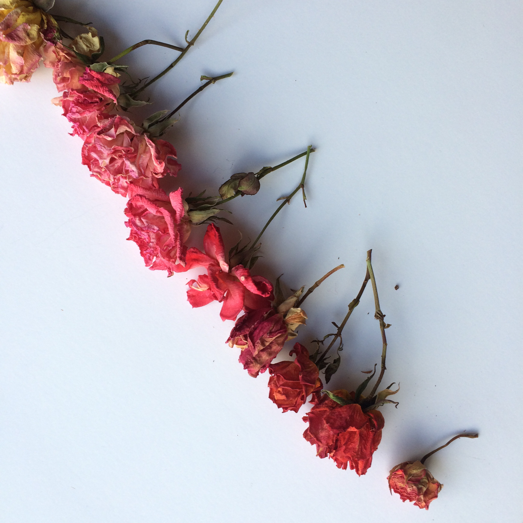 roses IX.jpg