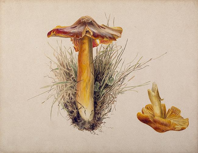 Hydrogrophorus puniceus -By Beatrix Potter [Public Domain], via Armitt Museum and Library