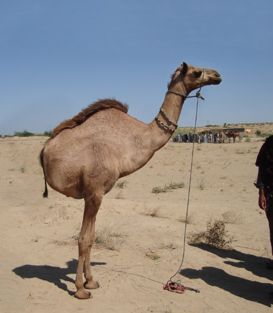 vows and promises camel.JPG