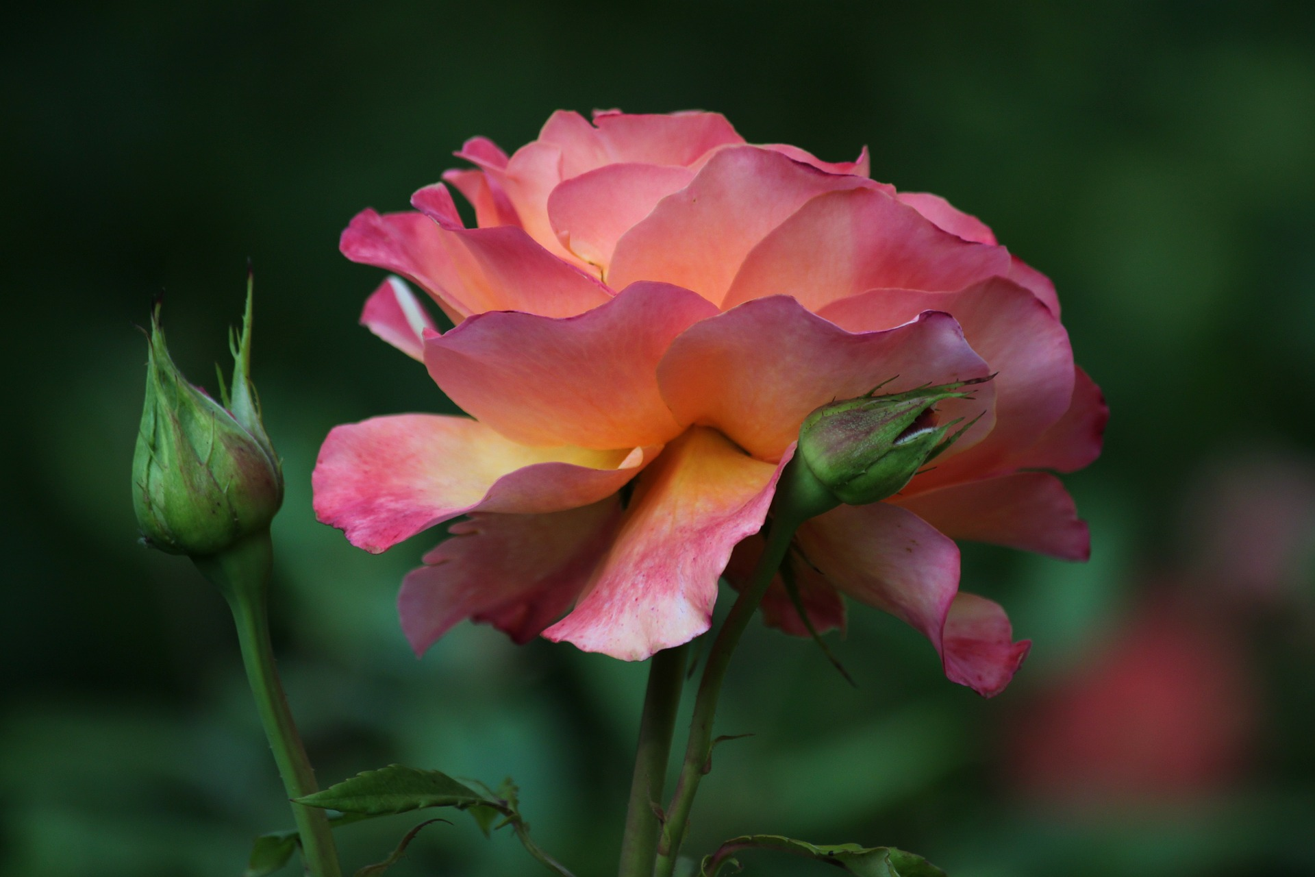 rose-340624_1920.jpg