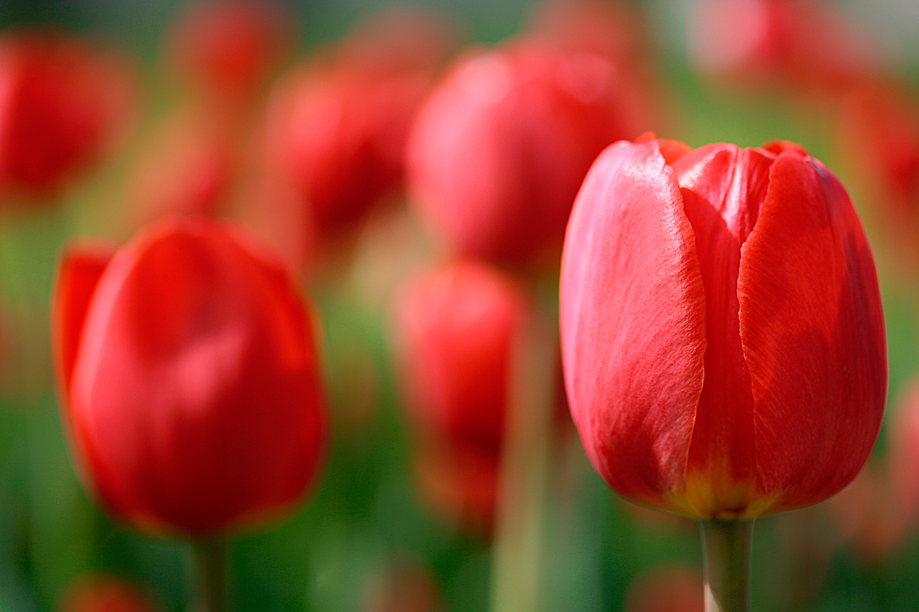 stockvault-red-tulips133385.jpg