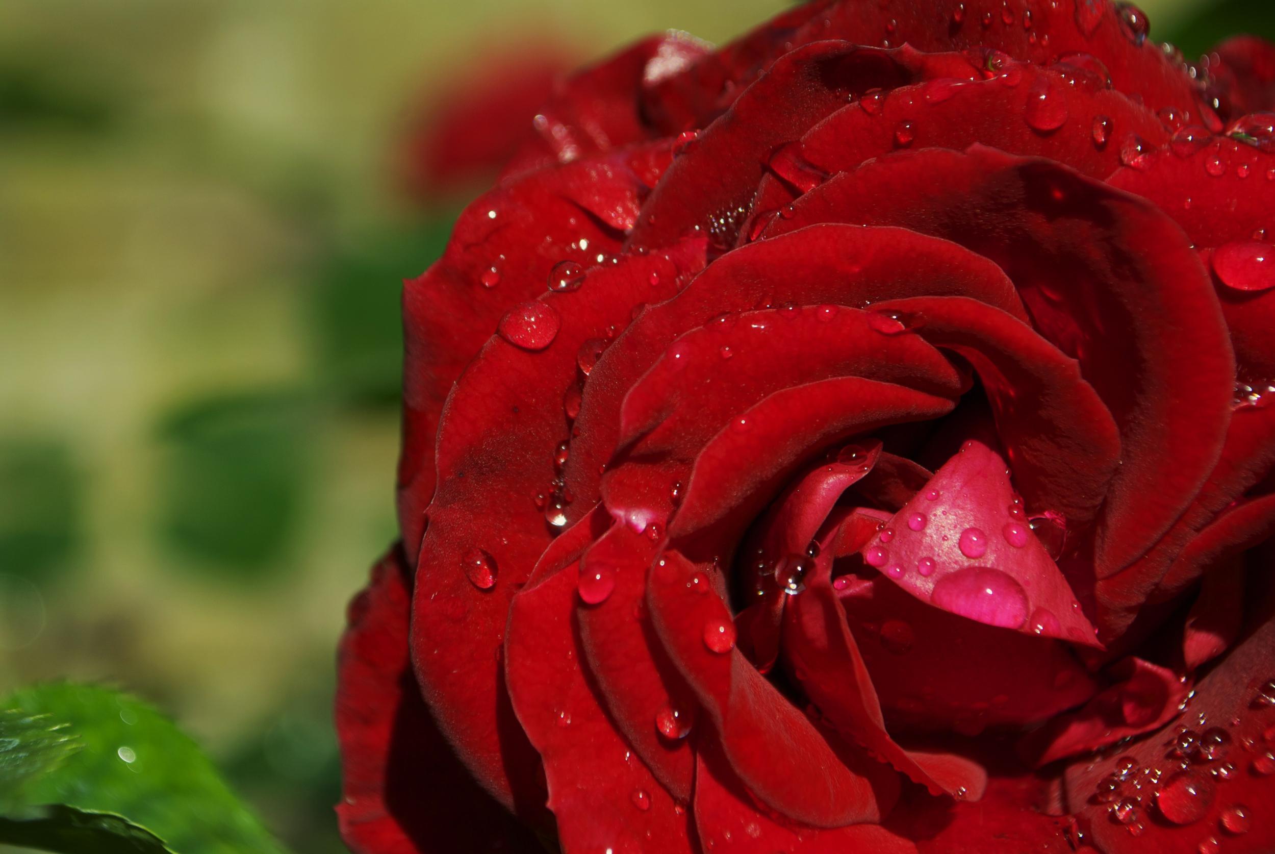 MACRO | Rose