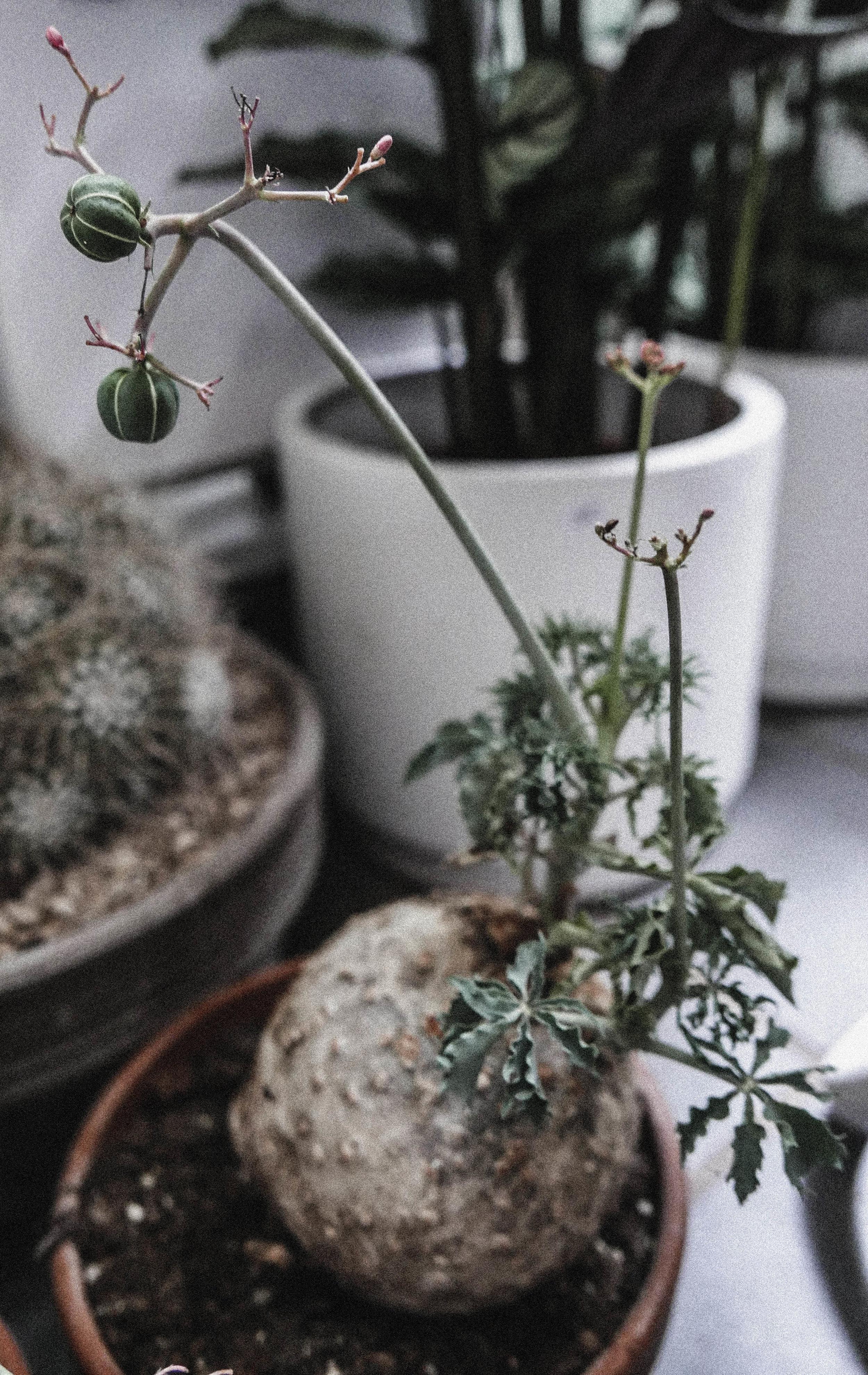 passiflora_gront8.jpg