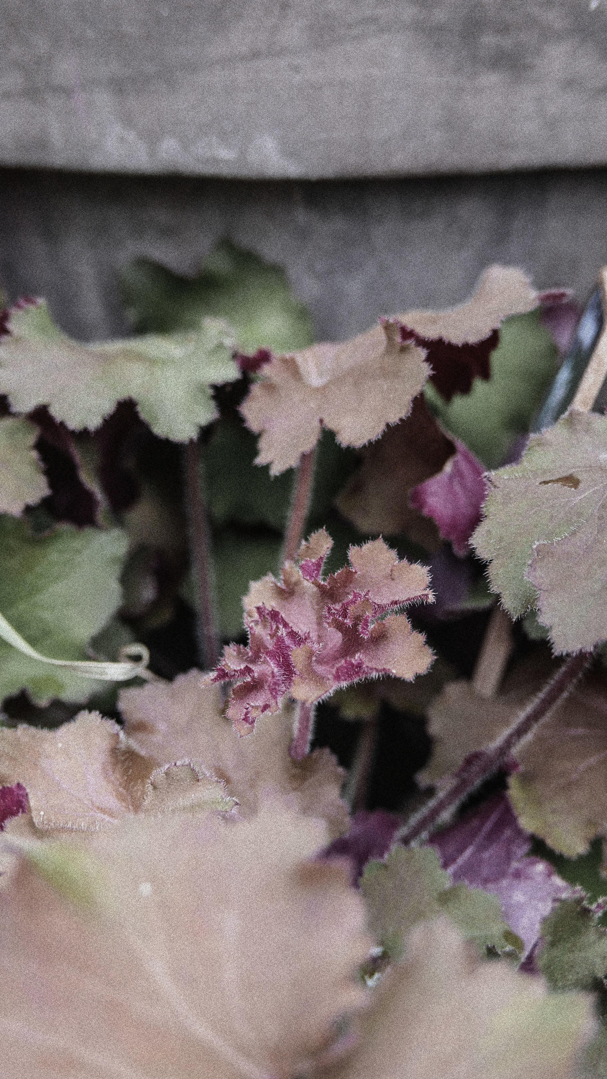 passiflora4.jpg
