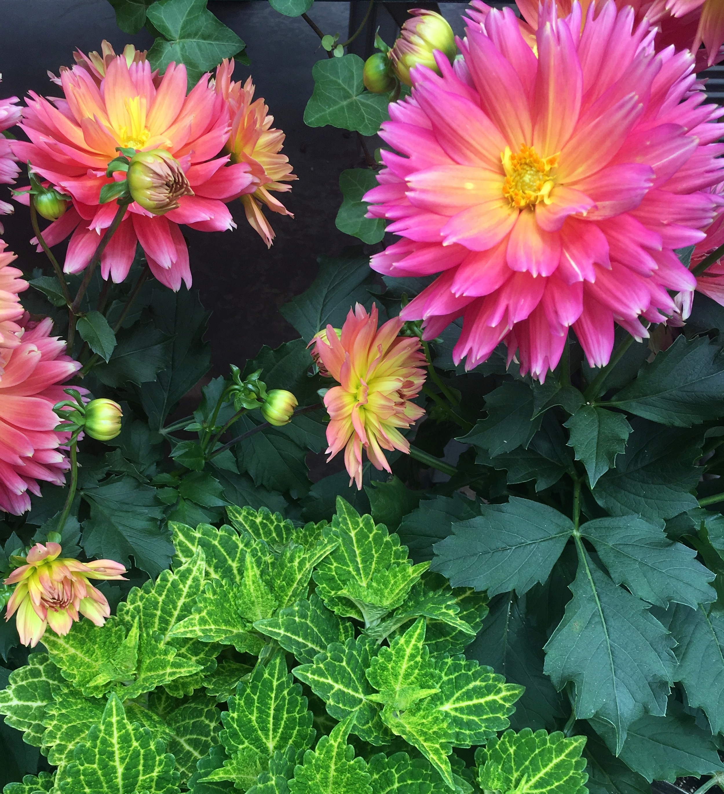 Dahlias typically blooming in August available now to meet the growing demand for instant color