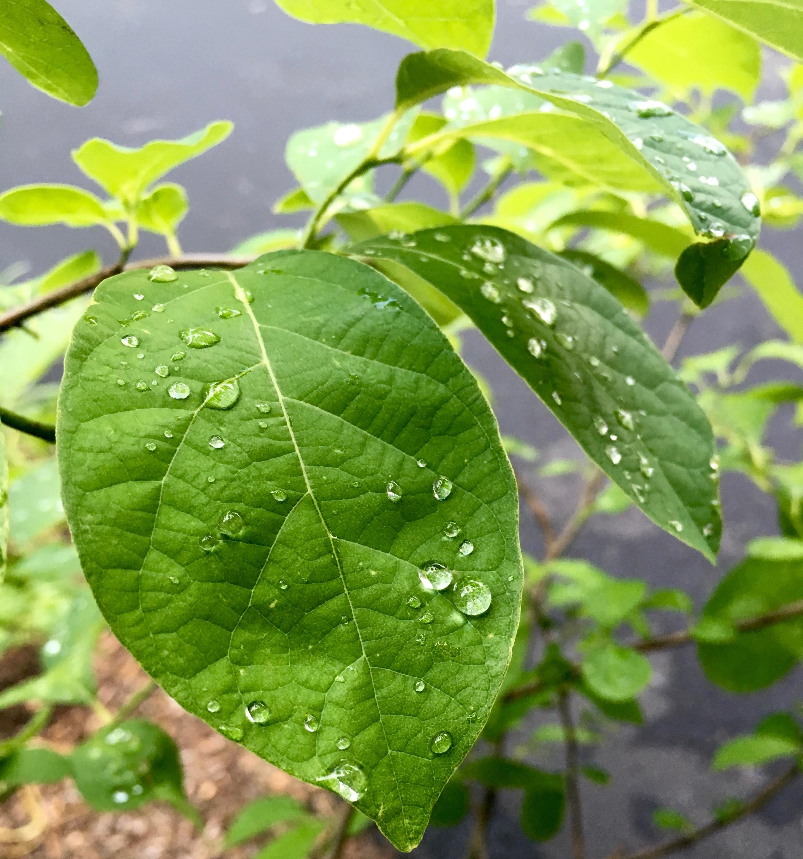 Lindera benzoin or Native Spicebush