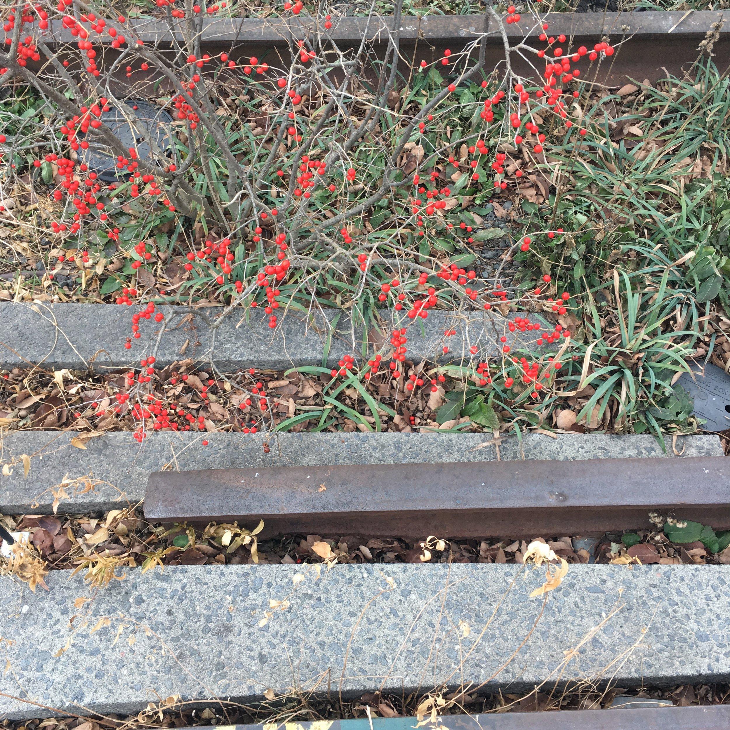 Ilex verticillata on the High Line