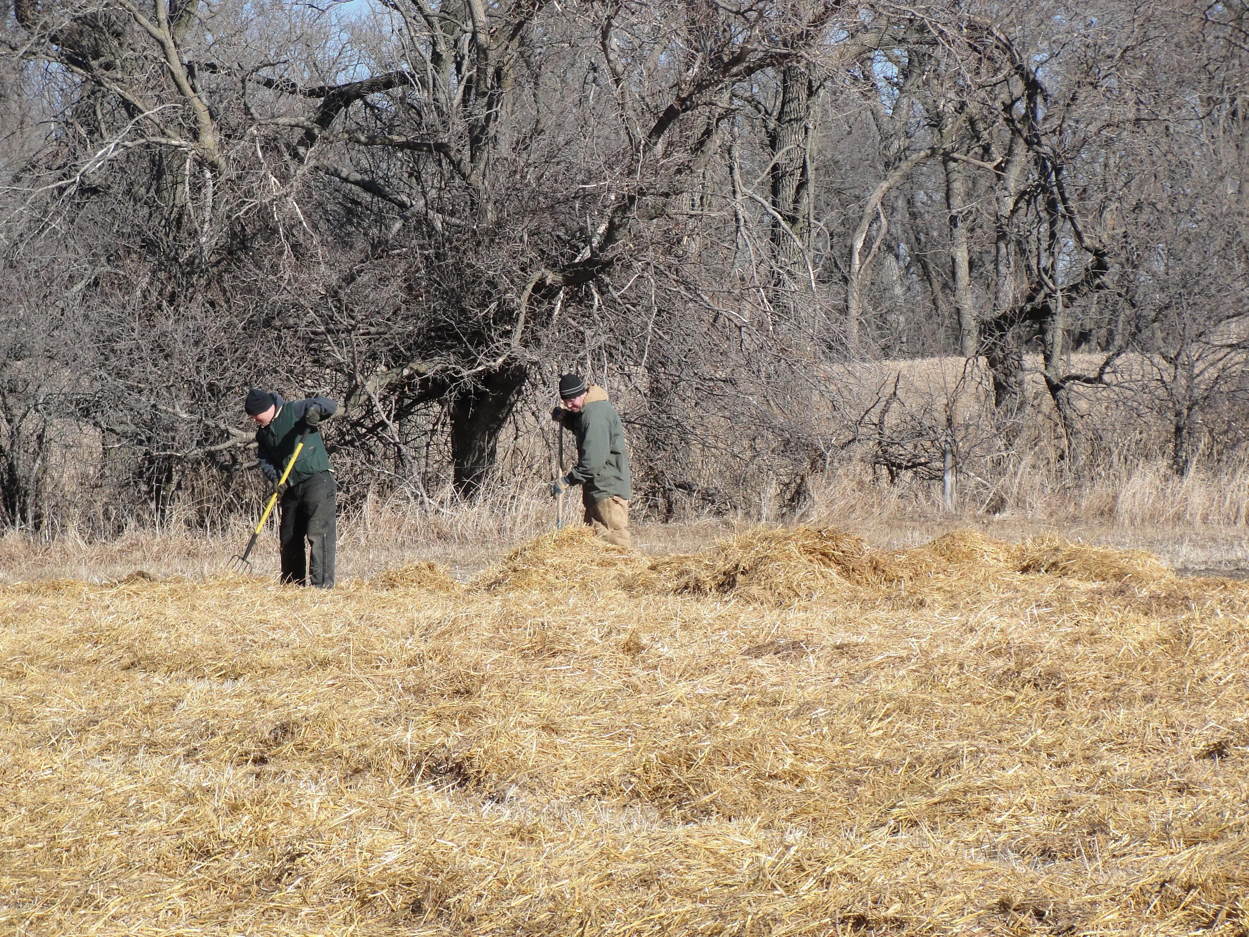 Mulching garlic with native prairie grass hay.