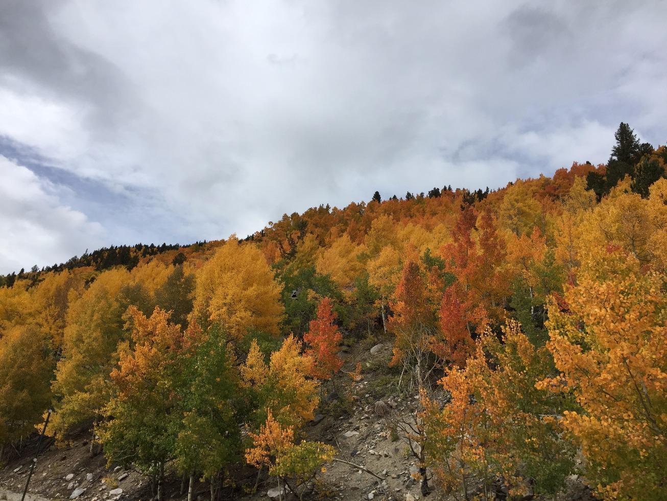 Orange and yellow aspen leaves