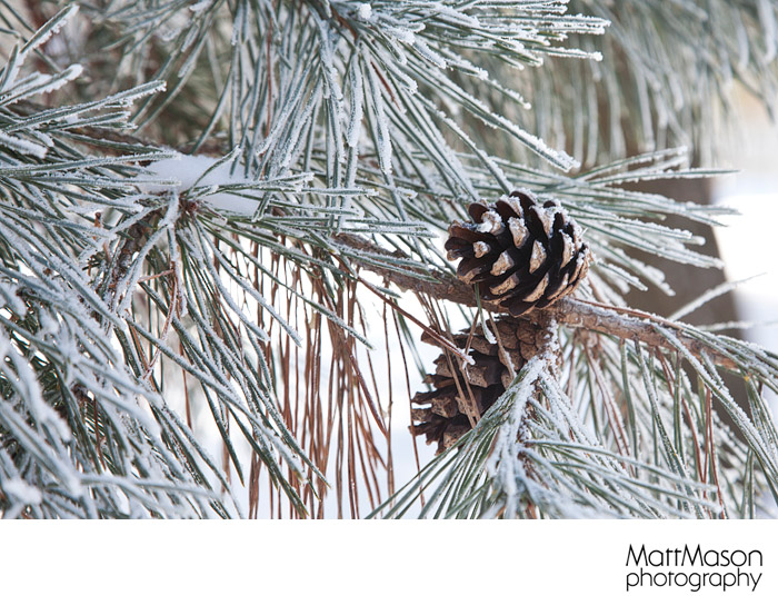 Pine Cone with Hoar Frost