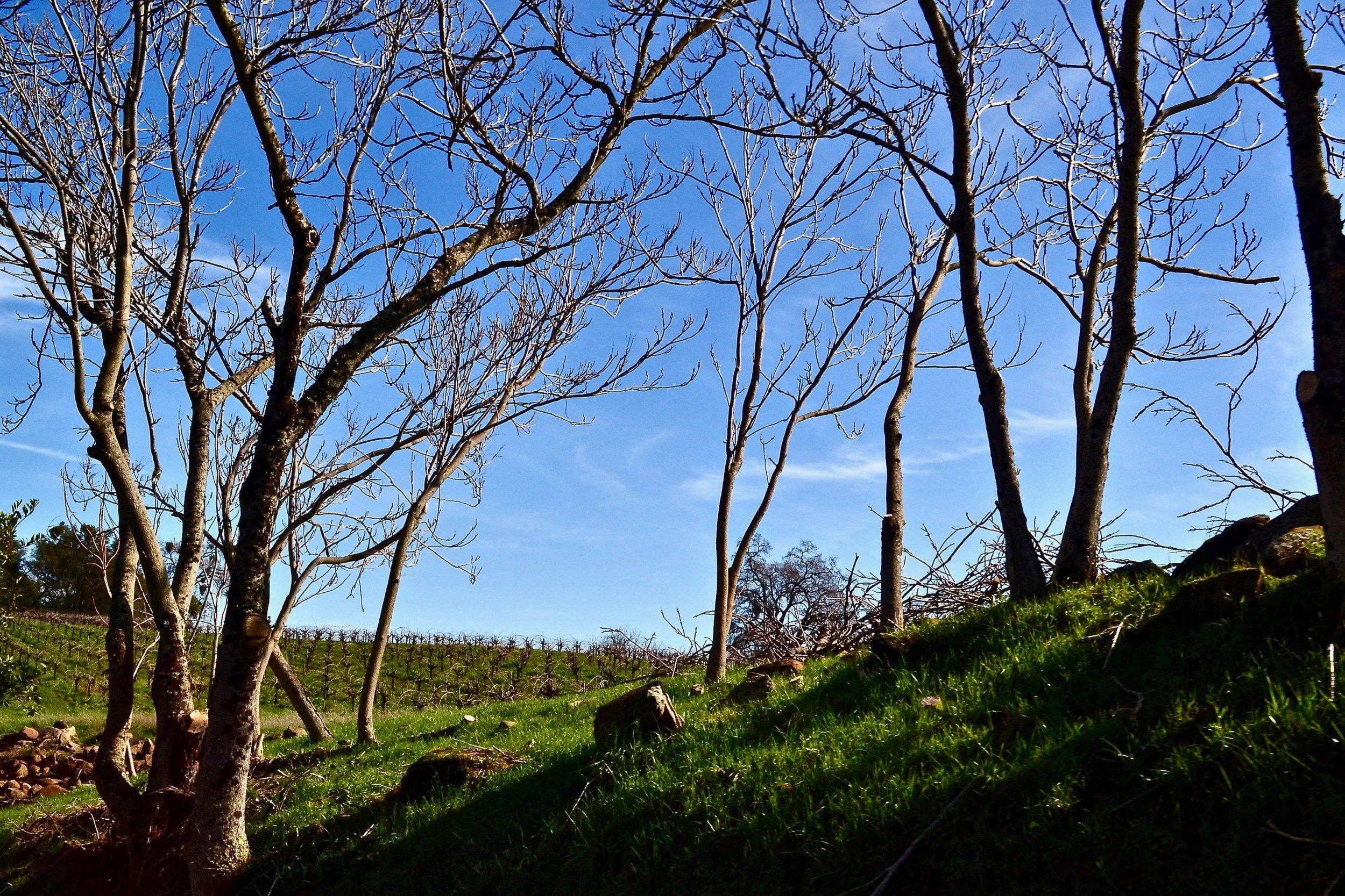 Buck Cobb Vineyard throught the trees.jpg